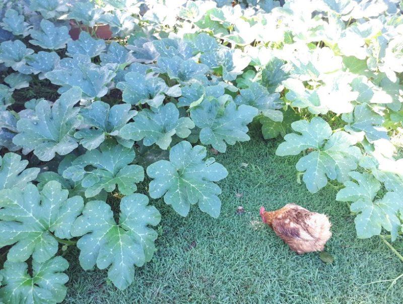 かぼちゃの葉と茎を食べる